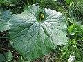 20170917Alliaria petiolata1.jpg