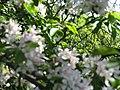 2018-05-05 Crab apple blossom (Malus sylvestris), Banville Lane, East Runton (2).JPG