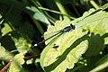 2018.05.05 Ischnura elegans - Agrion élégant (2.1web).jpg