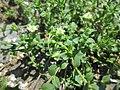 20180515Arenaria serpyllifolia1.jpg