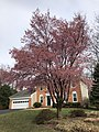 2019-03-30 16 18 07 A winter-flowering cherry blooming along Willow Glen Court in the Franklin Farm section of Oak Hill, Fairfax County, Virginia.jpg