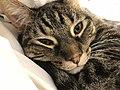 2020-04-24 14 01 03 A tabby cat lying on a couch in the Franklin Farm section of Oak Hill, Fairfax County, Virginia.jpg