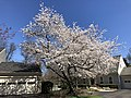 2021-03-30 11 53 43 A cherry blooming along Farmbell Court in the Franklin Farm section of Oak Hill, Fairfax County, Virginia.jpg