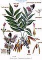 214 Fraxinus excelsior L.jpg