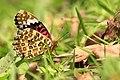 294黑端豹斑蝶4(郭月秀攝) (31610127542).jpg
