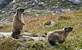 2 marmots.jpg