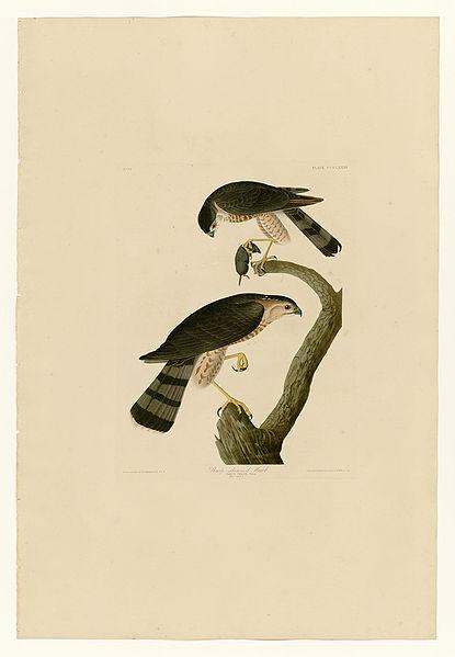File:374 Sharp-shinned Hawk.jpg