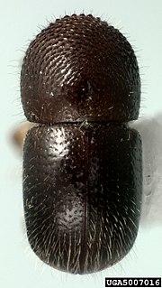 <i>Xylosandrus compactus</i> Species of beetle