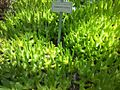 5 Glottiphyllum cruciatum - Kirstenbosch 3.jpg