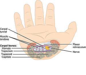 Carpal tunnel - The carpal tunnel