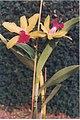 A and B Larsen orchids - Brassolaeliocattleya Cattleya bicolor x Brassolaeliocattleya Mary Lee Garson 301-16.jpg