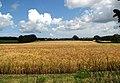 A field of ripening barley - geograph.org.uk - 876113.jpg