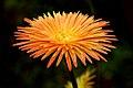 A multi petal flower.jpg