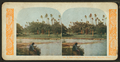 A palm grove on the Monoloa River, Honolulu, Hawaii, from Robert N. Dennis collection of stereoscopic views.png