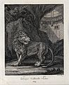 A young roaring lion in a cave with architecture in the back Wellcome V0021049EL.jpg