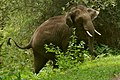 A young tusker AsianElephant DSC 3750.jpg