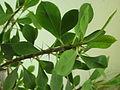 Ab plant 1478.jpg