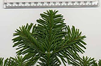 Abies amabilis - Pacific silver fir foliage from above