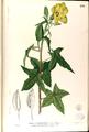 Abelmoschus moschatus Blanco2.245-original.png