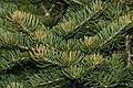 Abies concolor (White Fir) (31179490991).jpg