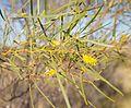 Acacia ancistrocarpa green stuff.jpg