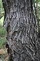 Acacia caffra06.jpg