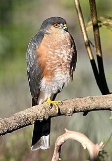 Sharp-shinned hawk species of bird