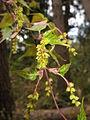 Acer crataegifolium 5.JPG