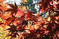 Acer palmatum 'Nuresagi' JPG1c.jpg