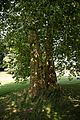 Acer pseudoplatanus Sycamore in the Pleasure Grounds at Parham Park, West Sussex, England.jpg