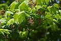 Acer pseudosieboldianum.jpg