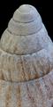 Achatina vassei shell 4.png