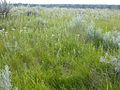 Achillea millefolium (3287026513).jpg
