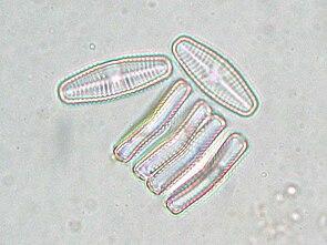 Achnanthes lanceolata