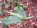 Achyranthes bidentata - Paithalmala (2).jpg