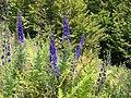 Aconitum napellus plant (01).jpg