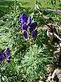 Aconitum napellus plant (13).jpg