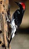 AcornWoodpecker23