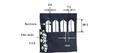Acotaciones en milímetros Bordados de las mangas para los uniformes.png