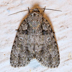 Acronicta increta.jpg