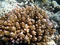 Acropora polystoma Maldives.JPG