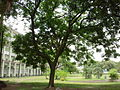 Adenanthera pavonina L..jpg