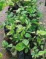 Aegle marmelos shrubs.jpg
