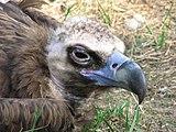 Aegypius-monachus-eurasian-black-vulture-0a.jpg