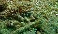 Aeolid Sea Slug (Phyllodesmium kabiranum) (8466188138).jpg