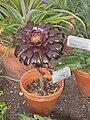 Aeonium arboreum - Tower Hill Botanic Garden.JPG