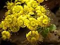 Aeonium spathulatum PICT.jpg