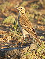 African Pipit, Anthus cinnamomeus, at Mapungubwe National Park, Limpopo, South Africa (18127372420).jpg