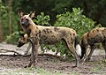 African painted dog, or African wild dog, Lycaon pictus at Savuti, Chobe National Park, Botswana. (32318506610).jpg