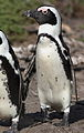 African penguin, Spheniscus demersus, at Stony Point, Betty's Bay, Western Cape, South Africa (24964836770).jpg